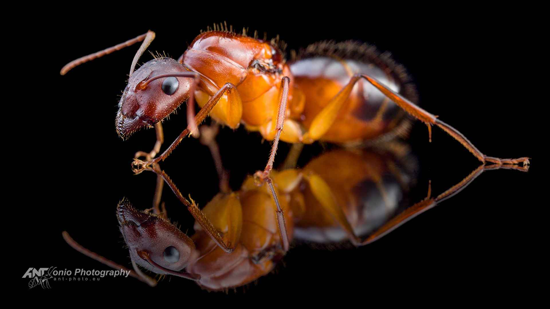 Camponotus pilicornis