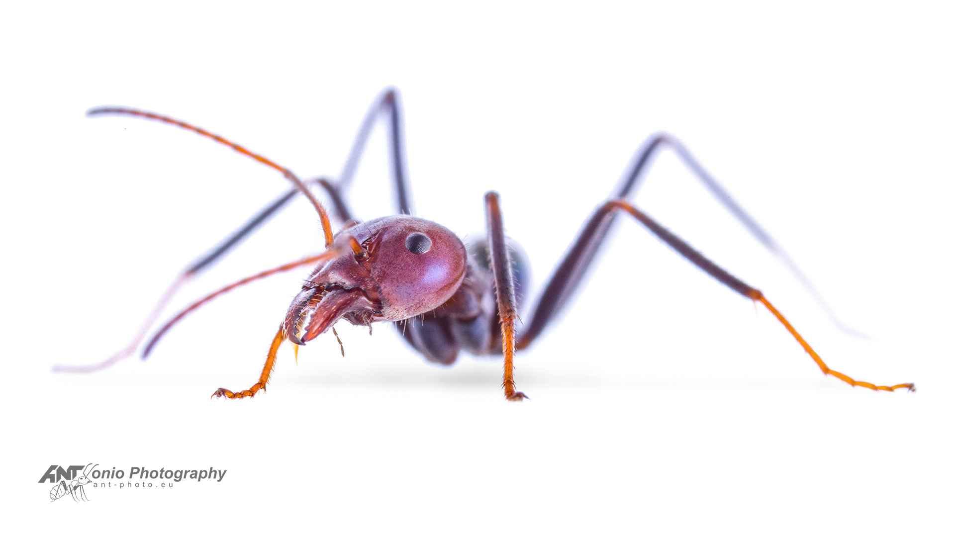 Iridomyrmex purpureus
