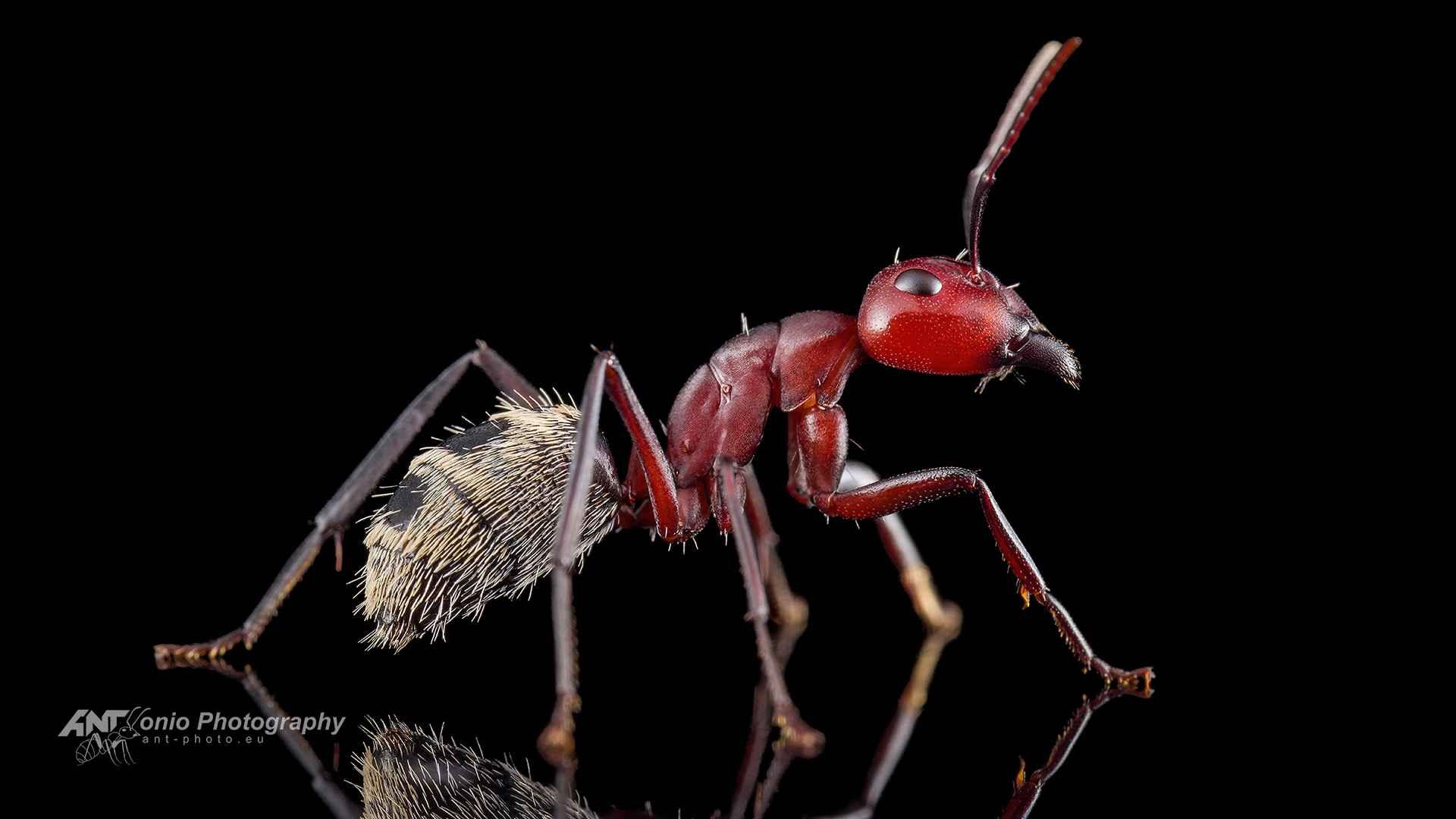 Camponotus detritus