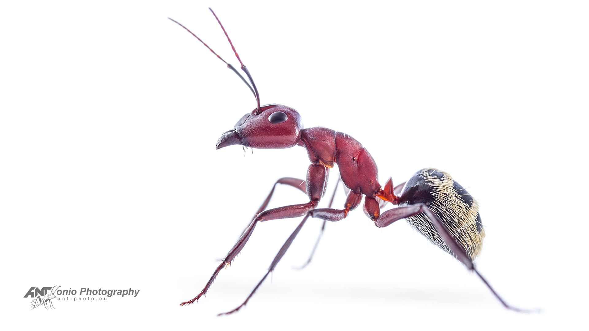 Camponotus detritus white 1