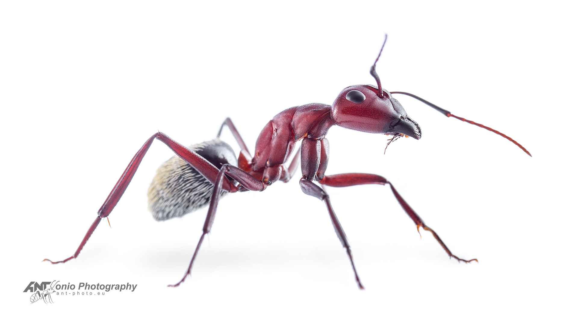 Camponotus detritus white 2