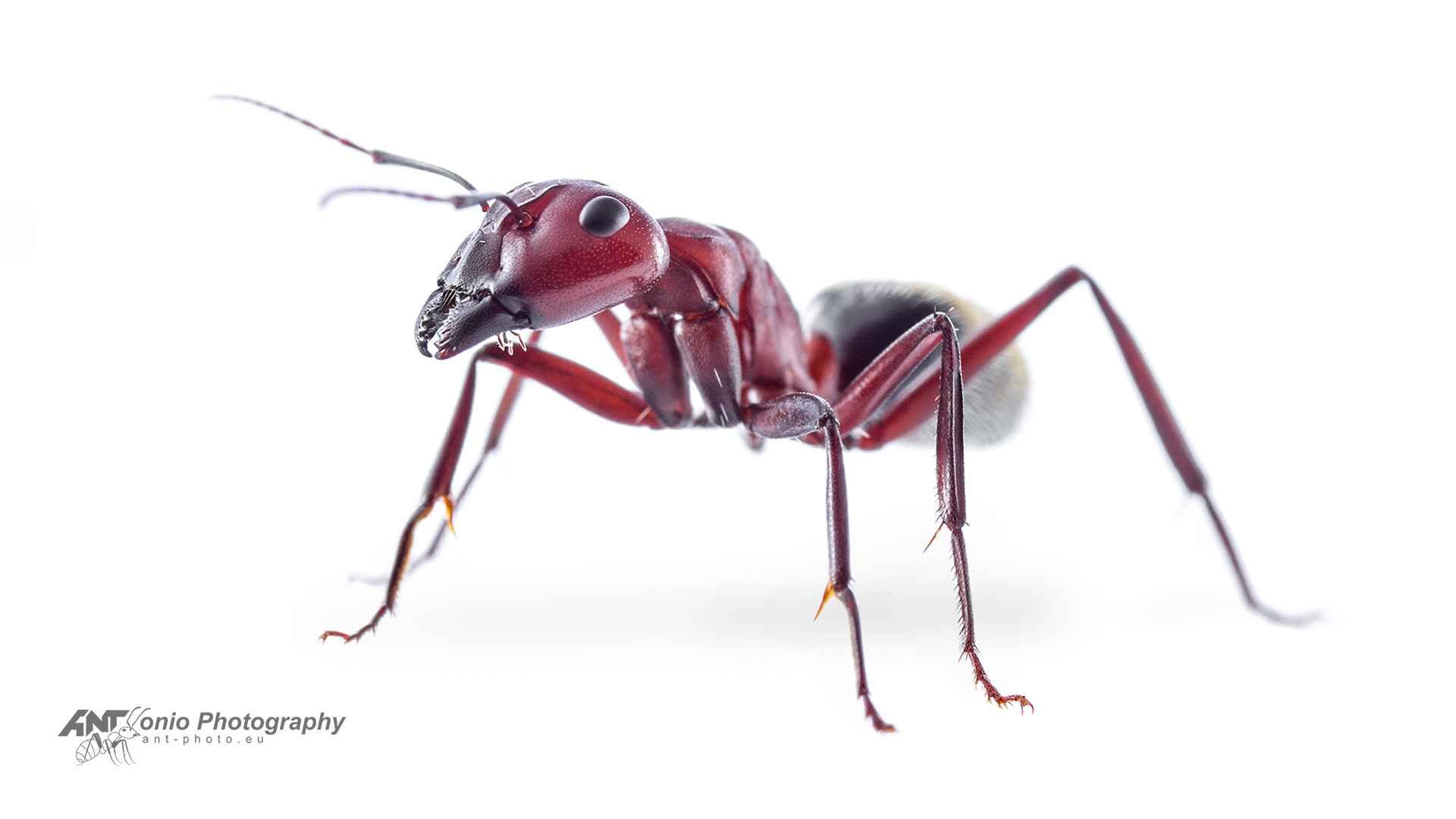 Camponotus detritus white 3