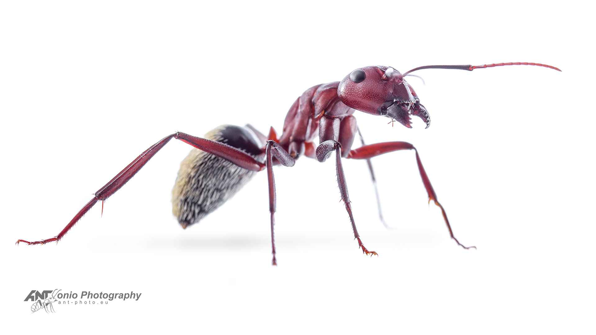 Camponotus detritus white 4