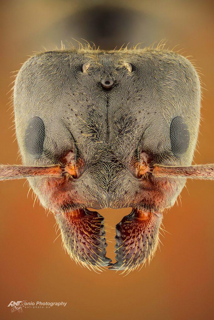 Liometopum microcephalum