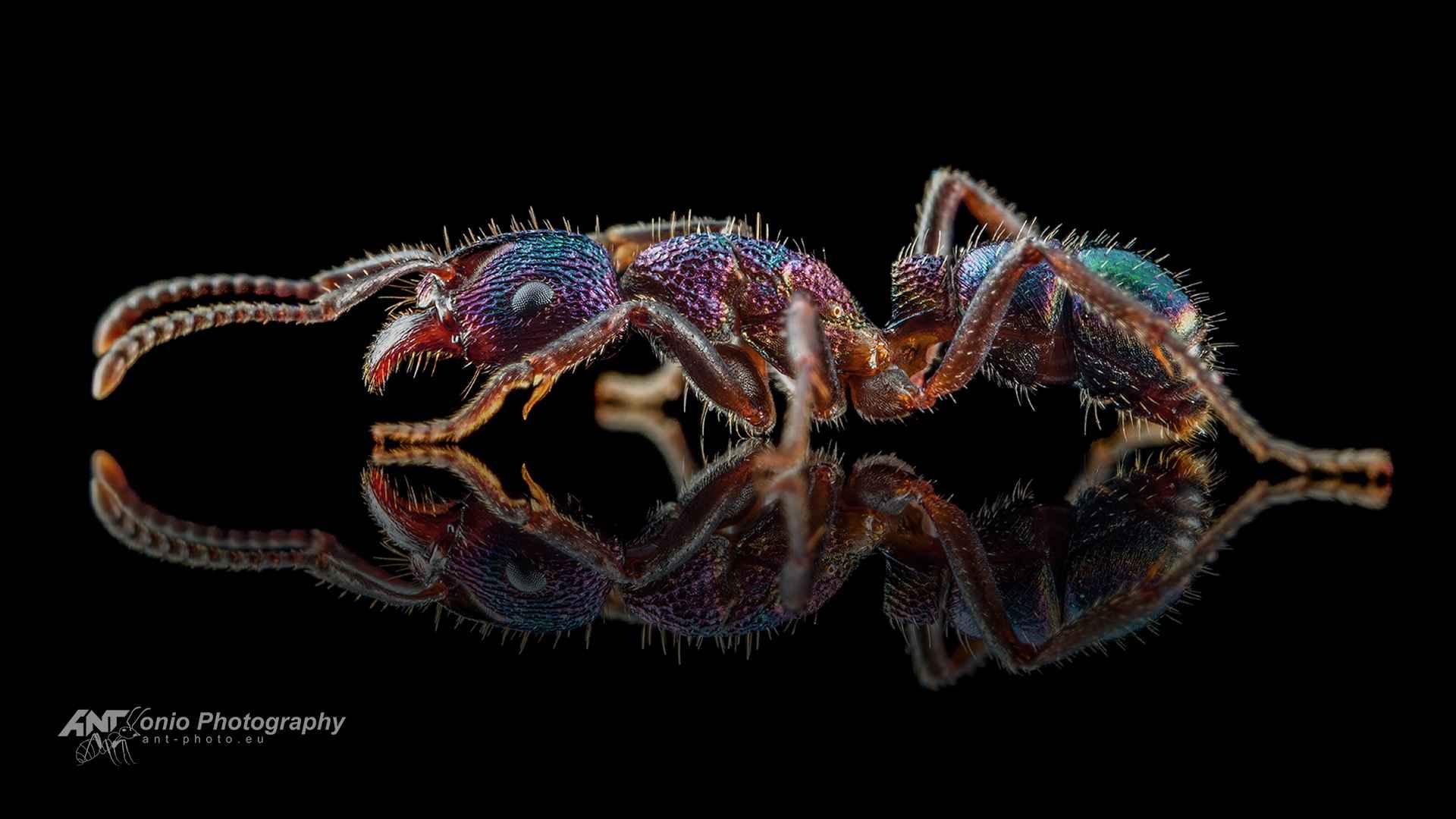 Ant Rhytidoponera metallica workeer
