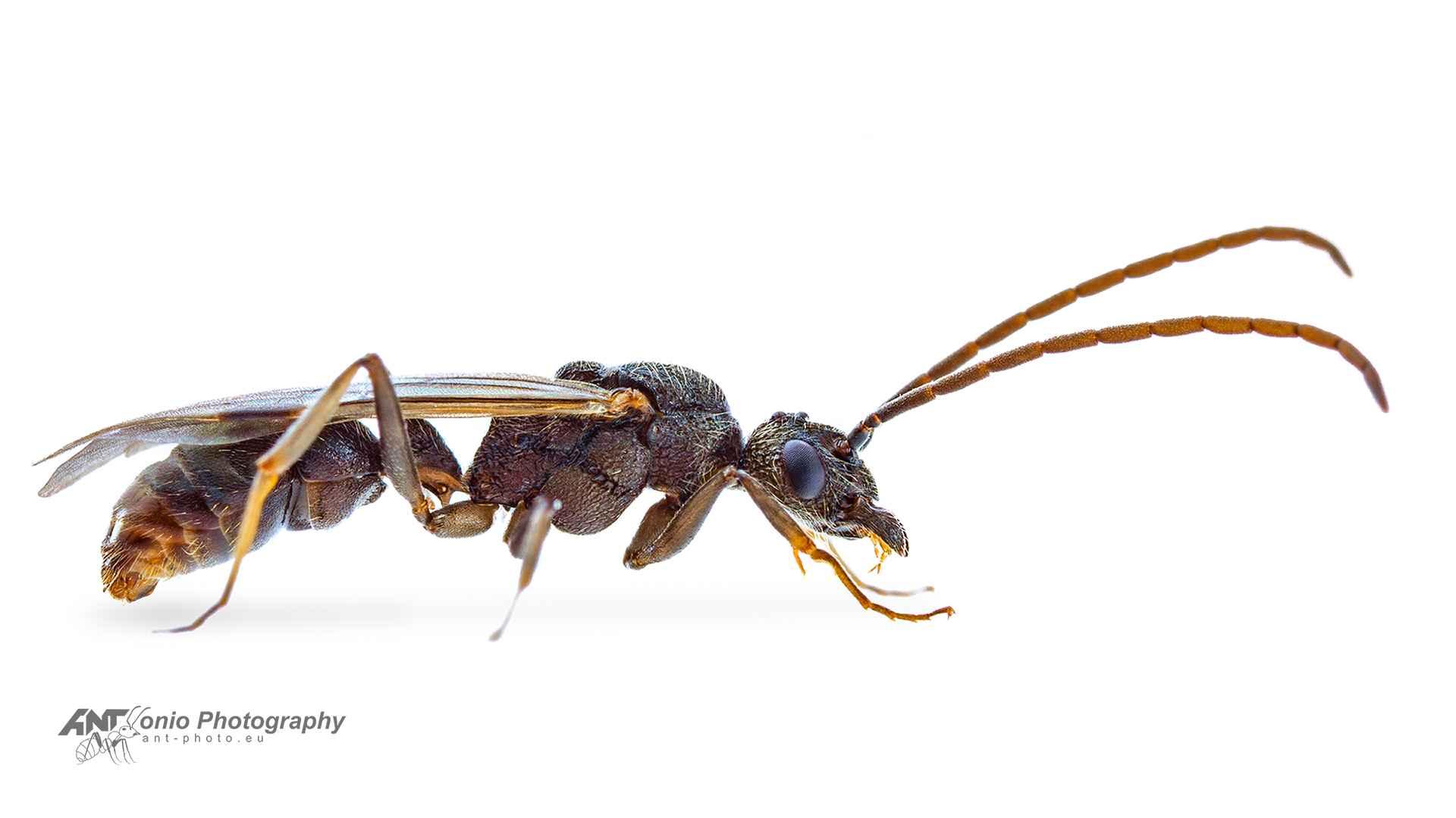 Ant Rhytidoponera metallica male