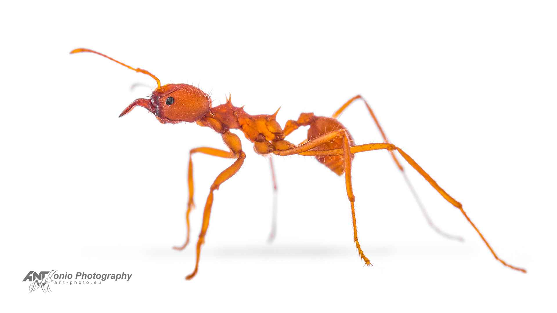 Atta laevigata caribbean pine leaf cutting ant