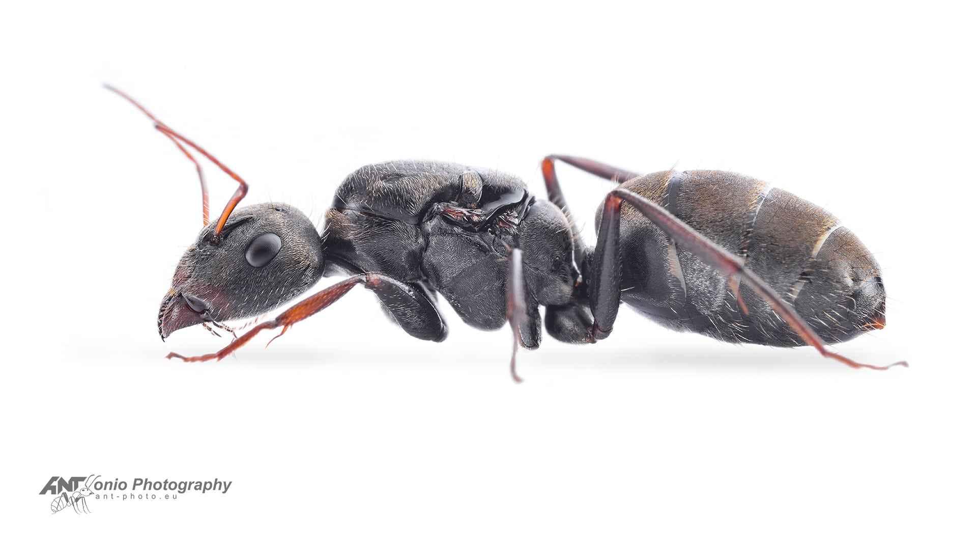 Camponotus mus queen white