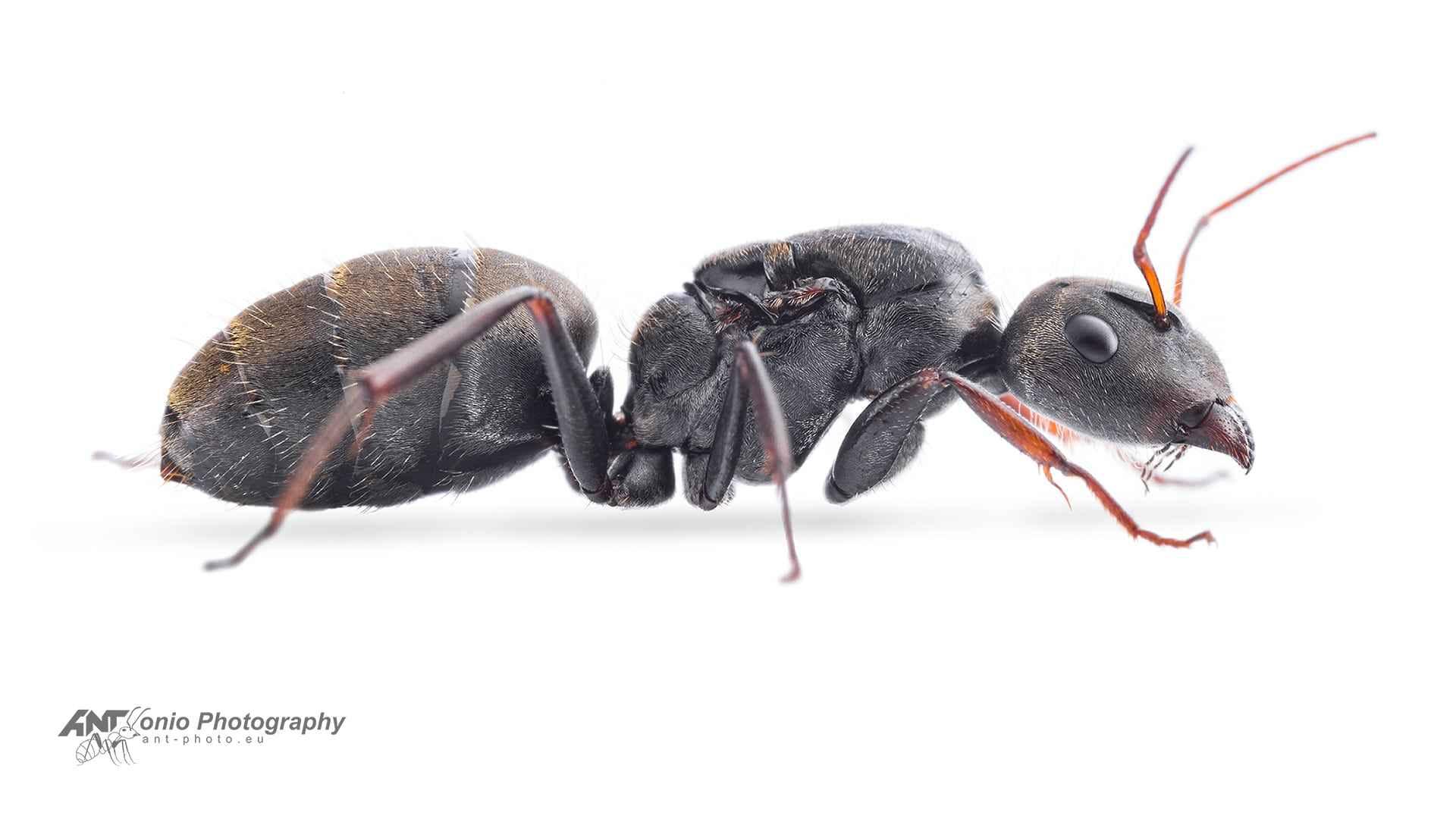 Camponotus mus queen