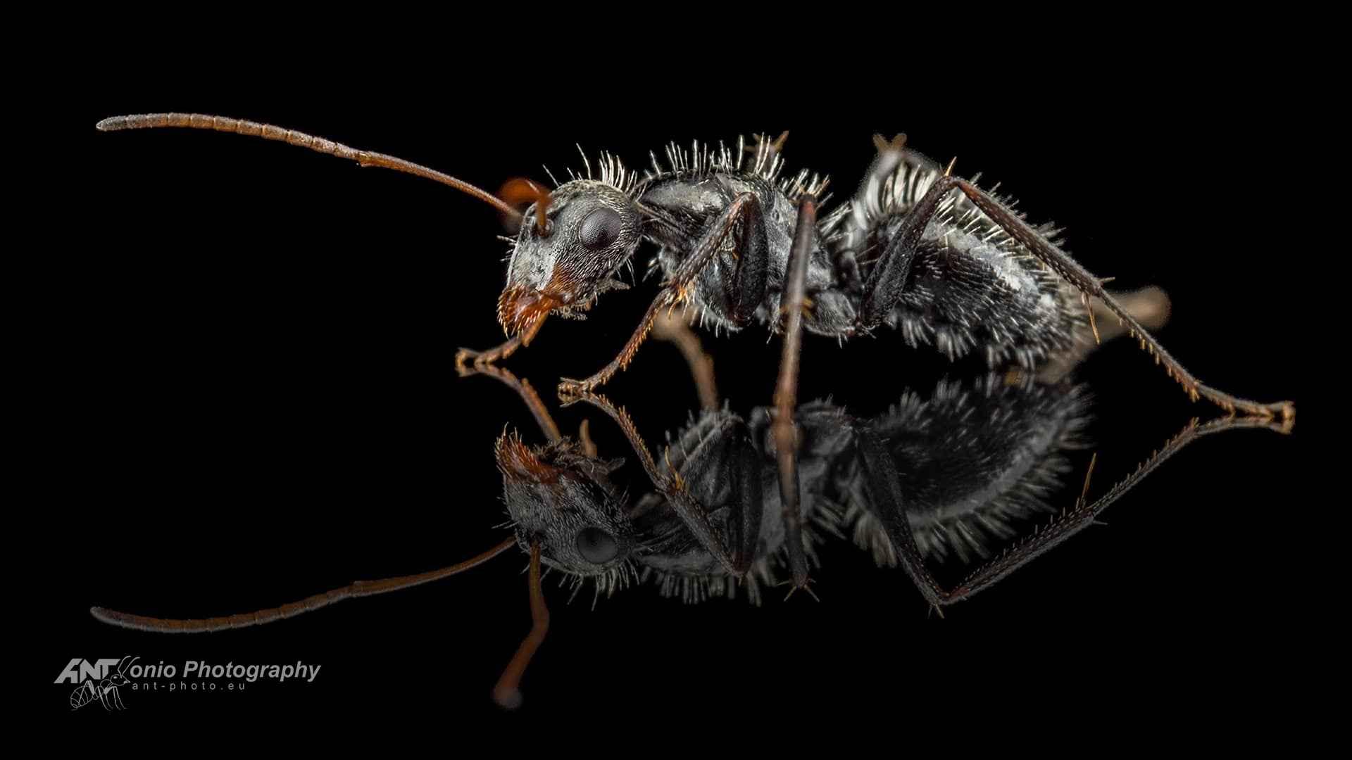 Camponotus mus worker