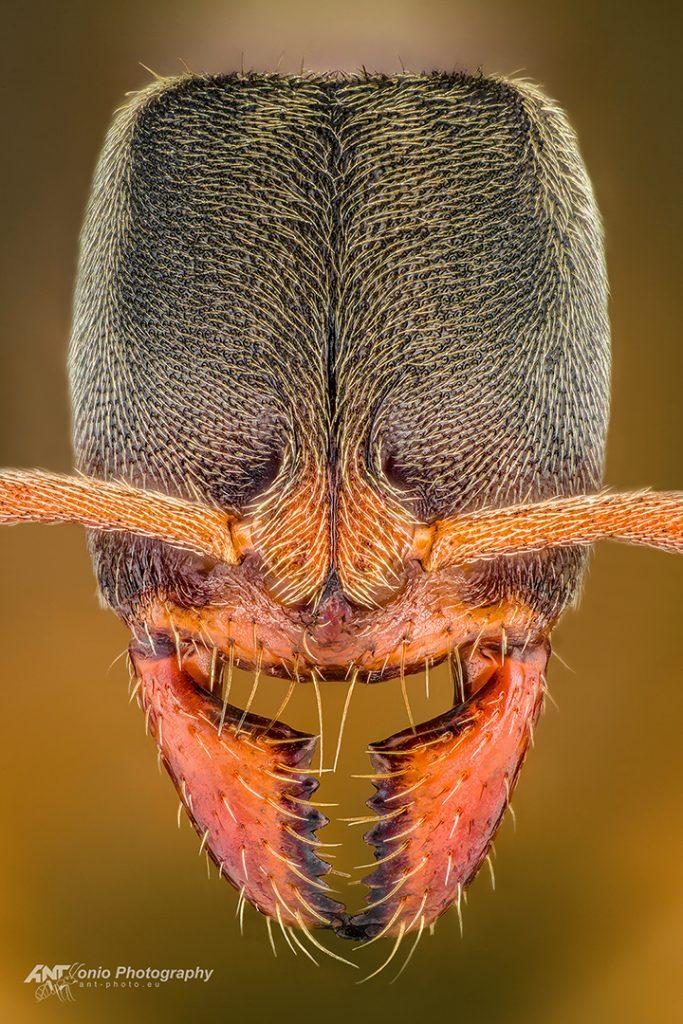 Euponera pilosior