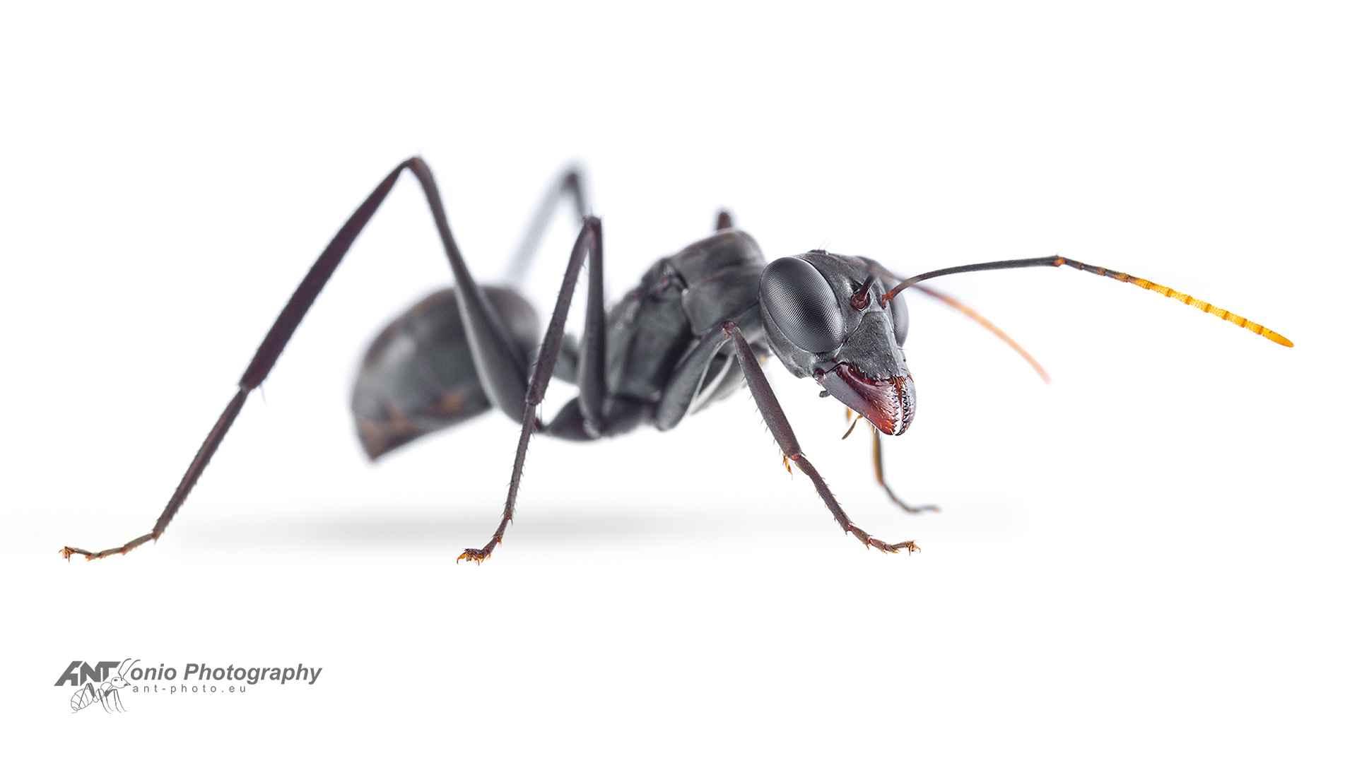 Gigantiops destructor queen
