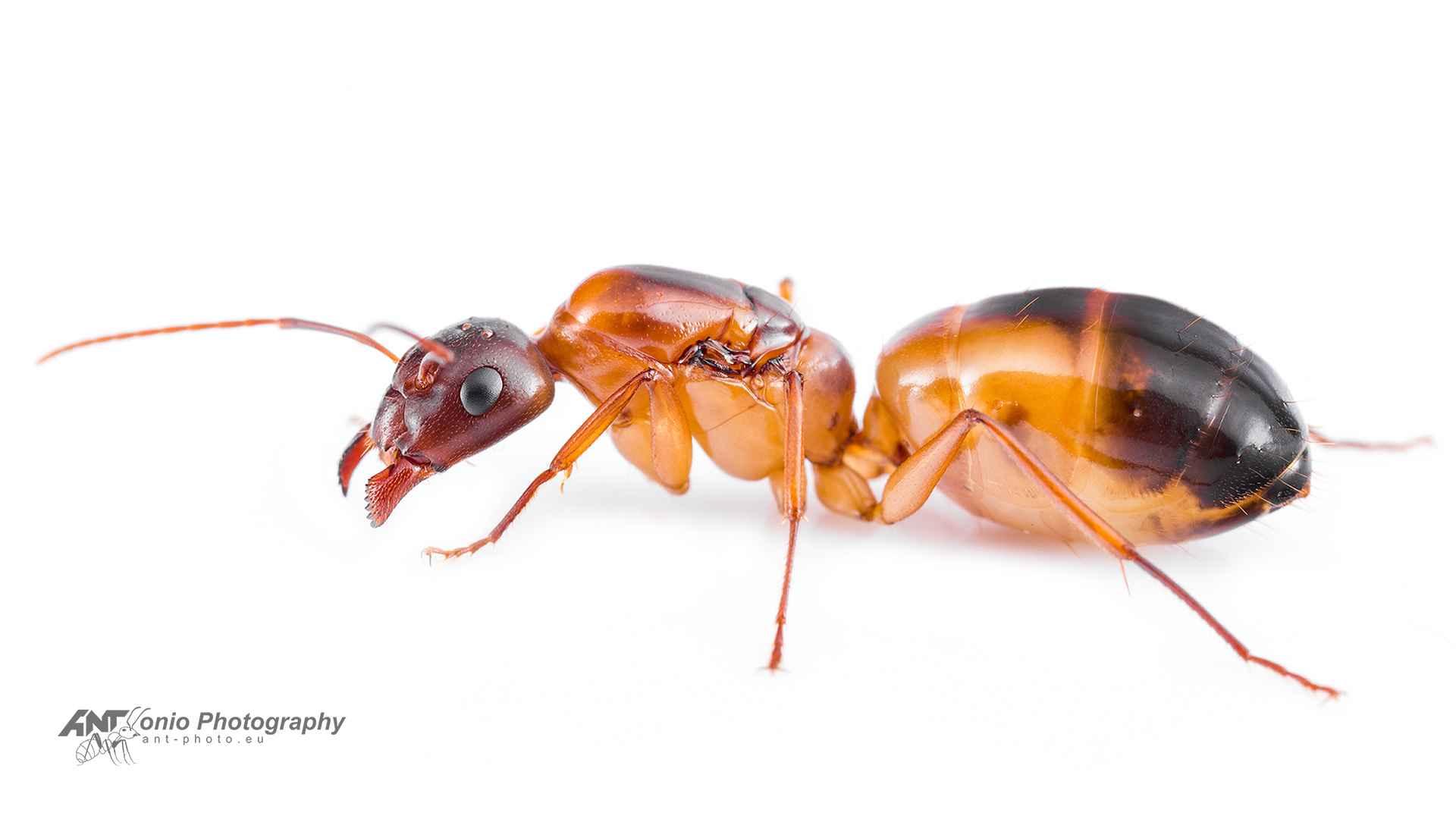 Camponotus nylanderi queen