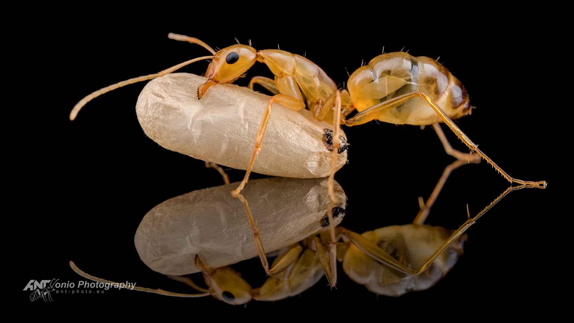 Camponotus nylanderi worker