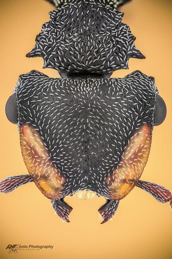 Cephalotes pusillus