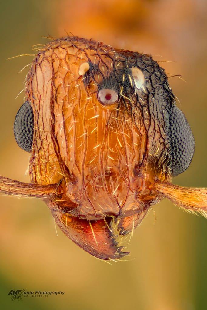 Gynandromorf T. bicarinatum