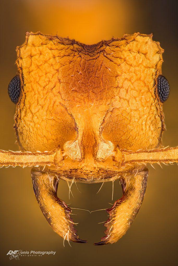 Mycocepurus smithii