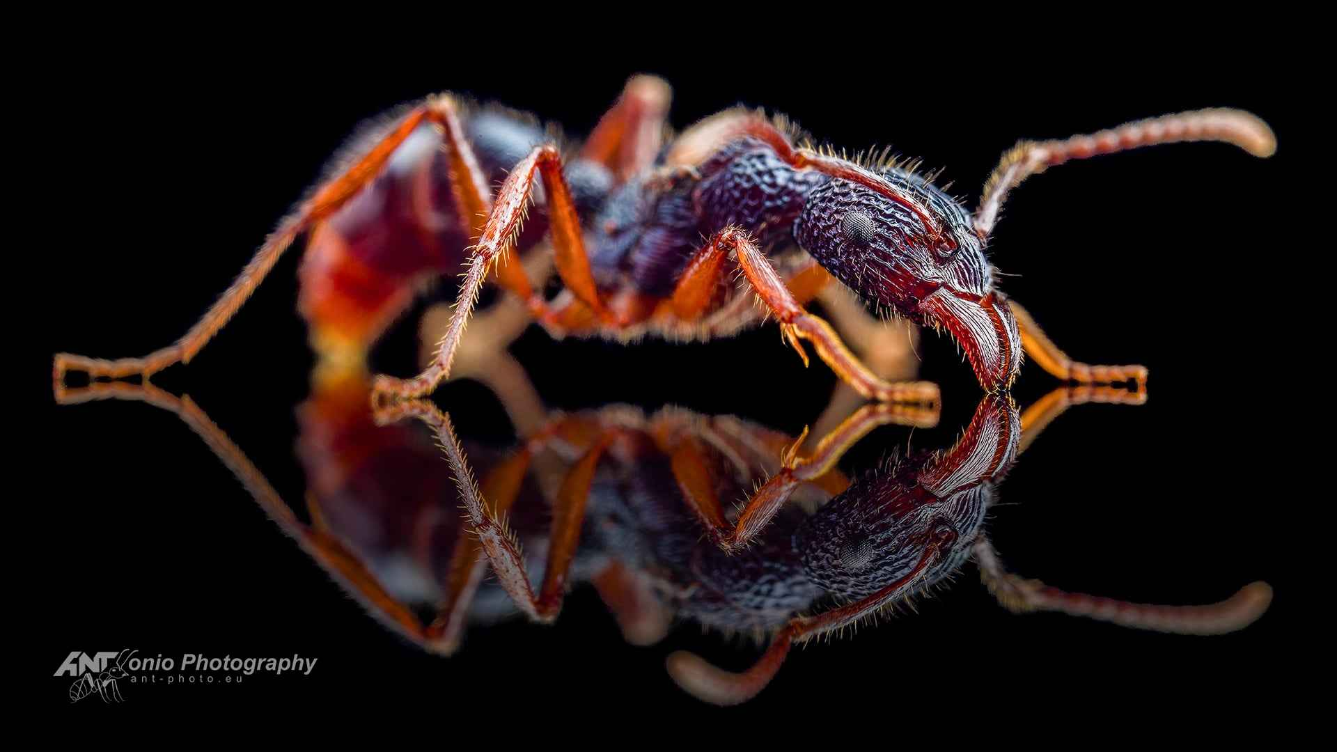 Rhytidoponera chalybaea queen