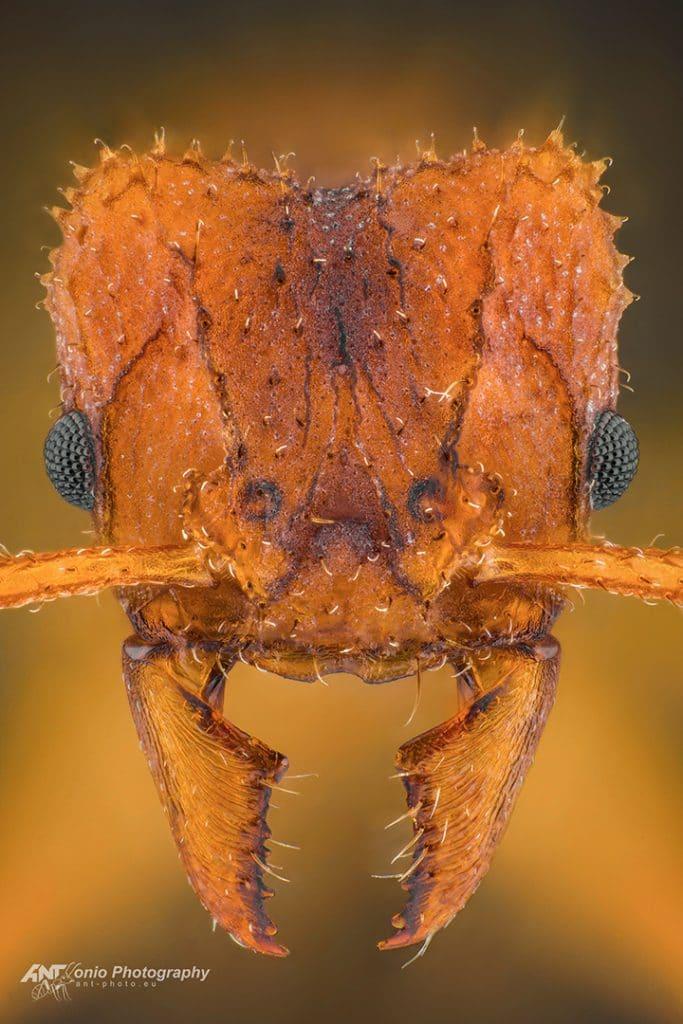 Trachymyrmex septentrionalis