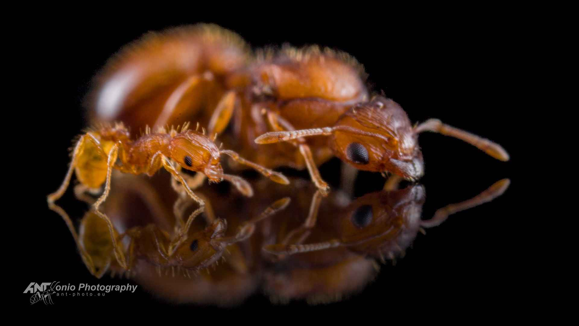 Wasmannia auropunctata queen