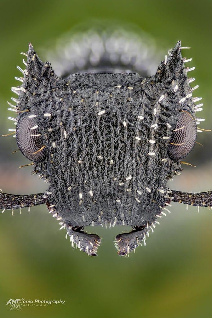 Cataulacus horridus