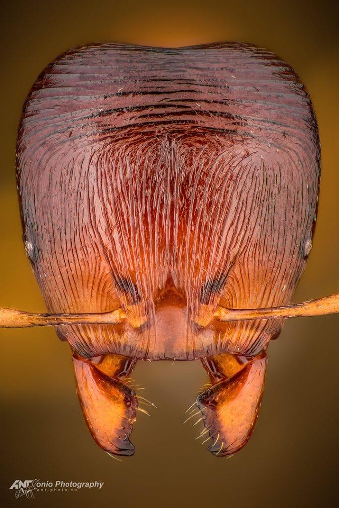 Carebara pygmaea