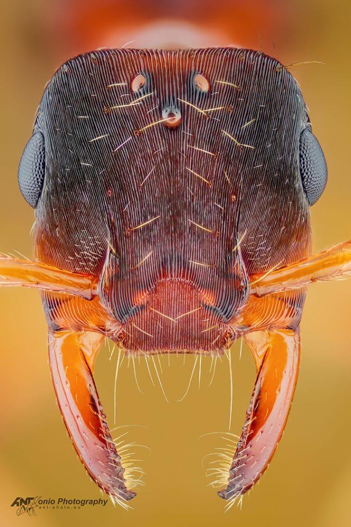 Gnamptogenys annulata