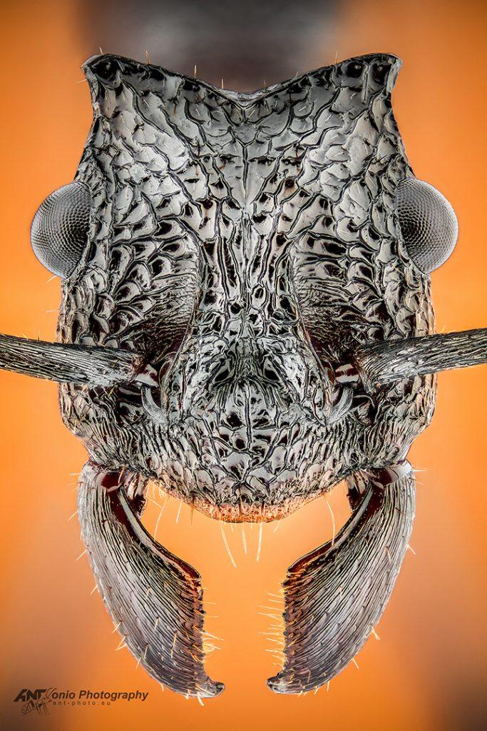 Rhytidoponera taurus