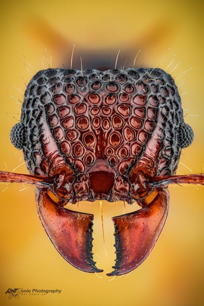 Acanthomyrmex glabfemoralis