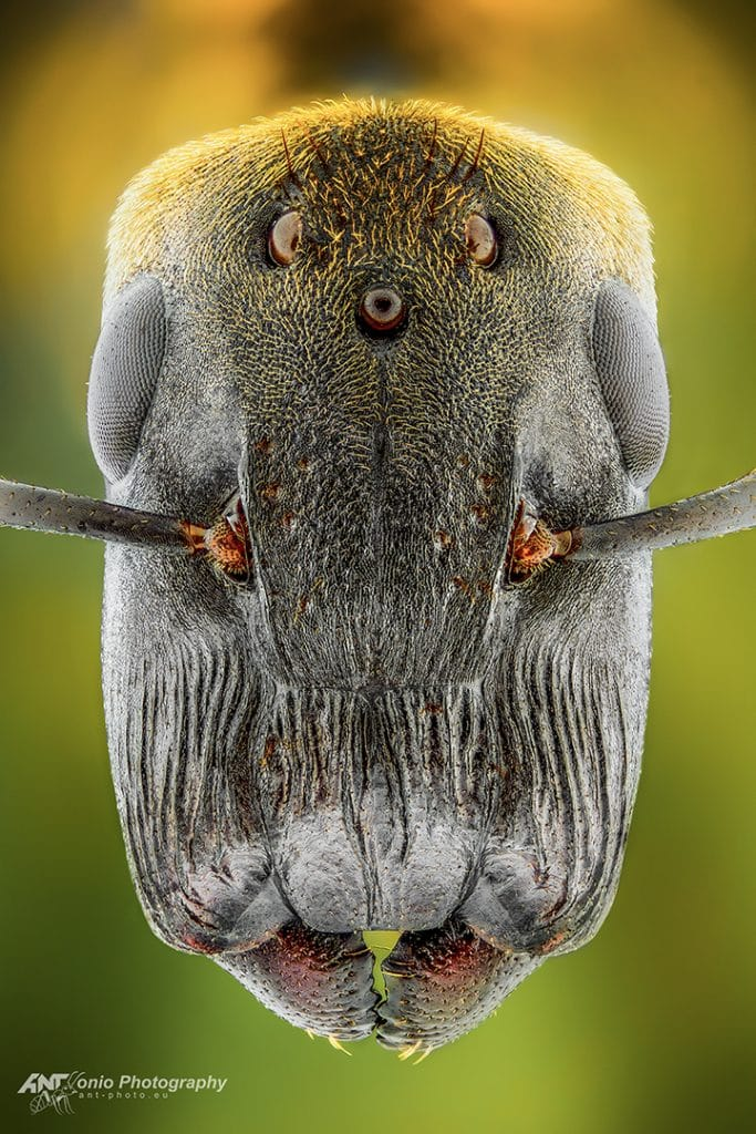 Colobopsis leonardi