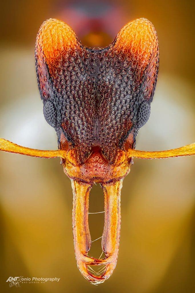 Orectognathus mjobergi