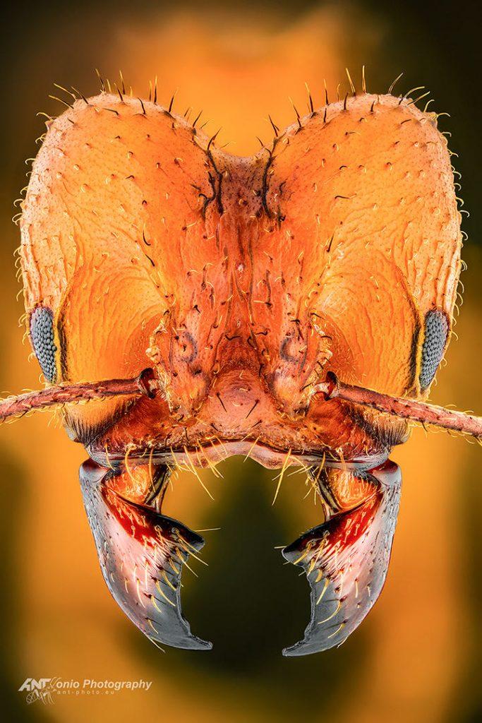 Acromyrmex balzani from French Guiana