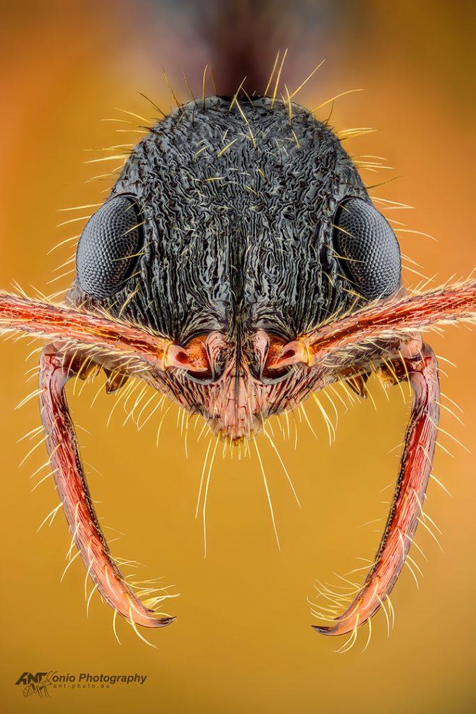 Leptogenys unistimulosa from French Guiana
